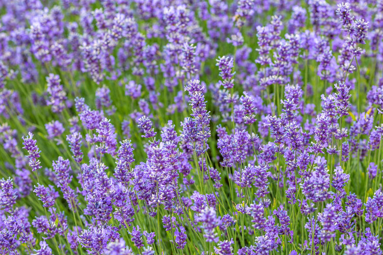 A full frame photograph of lavender flowers Flowering Plant Flower Vulnerability  Growth Fragility Beauty In Nature Plant Freshness Purple Close-up Full Frame Field Lavender No People Nature Day Abundance Backgrounds Land Petal Flower Head Flowerbed