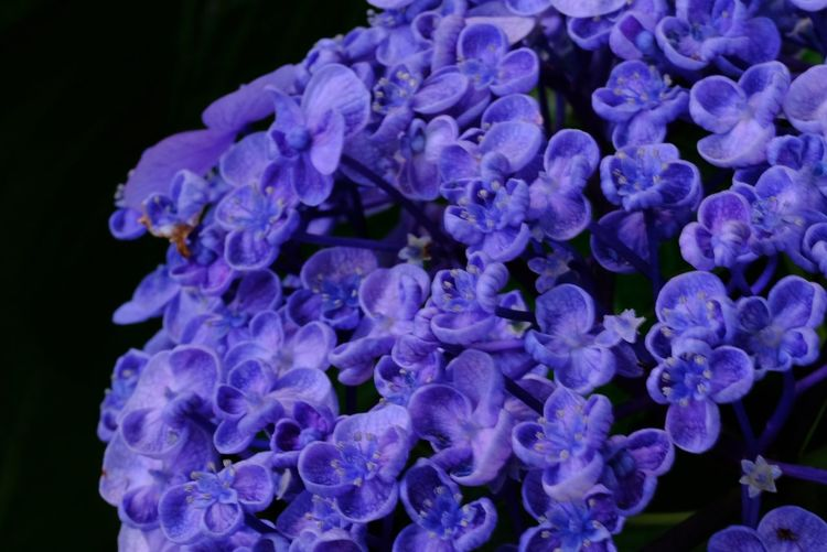 Close-up of purple hydrangea flowers against black background