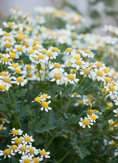 Feverfew herbal blossoms Flower Nature Plant Freshness Yellow Petal Blooming Beauty In Nature White Flowers Flowers In My Garden Flowers In My Garden Blossoming  Freshness Vertical Gardens Herb Garden Herbal Herbal Medicine Herbal Plant