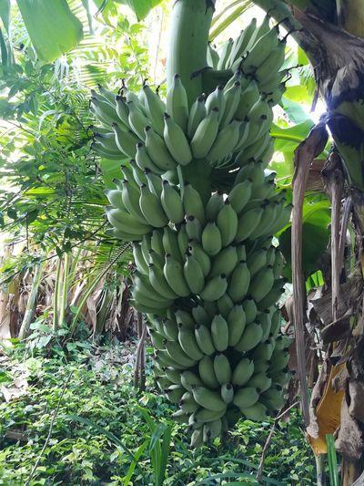 Full frame shot of banana tree