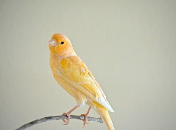 Little canary song bird Beautiful Cute Pets Finch Real Time To Fly Away Bird Bird Perched On A Branch Birds Canaries Canary Cute♡ Female Finches Free The Canary Little One Perching Pet Themes Popular Photos Single Songbirds Tweety Bird White Wings Yellow