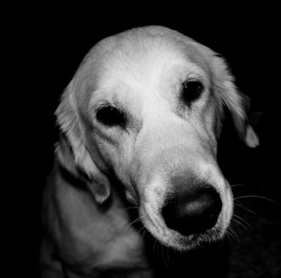 Dogs Golden Retrievers Animals Pet