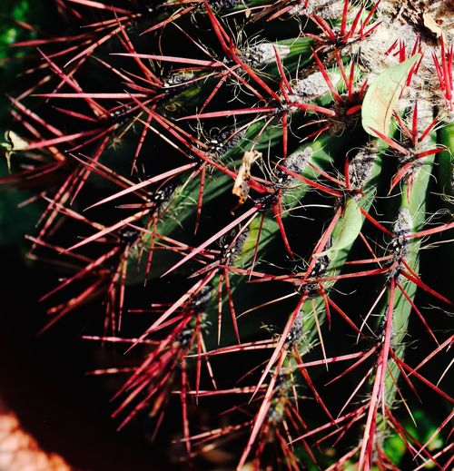 Catus Green Color Mexican Nature Photography Nature_collection Psicodelic Red Color Thorns And Beauty