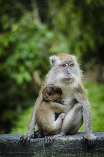 Female monkey feeding infant while sitting on tree trunk