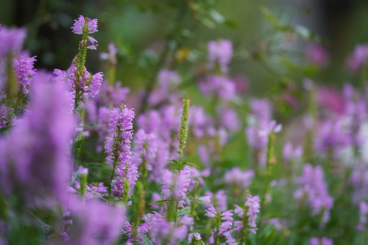 flower, growth, nature, fragility, beauty in nature, plant, selective focus, purple, freshness, lavender, day, no people, petal, close-up, blooming, outdoors, springtime, flower head