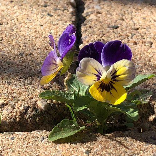 Viool Flower
