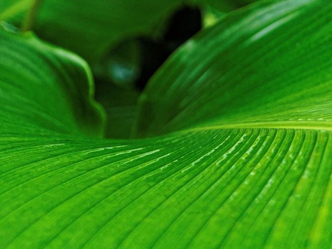 Backgrounds Banana Leaf Beauty In Nature Botany Claudetheen Close-up Freshness Full Frame Green Green Color Jungle Leaf Leaves Nature Outdoors Plant Thailand