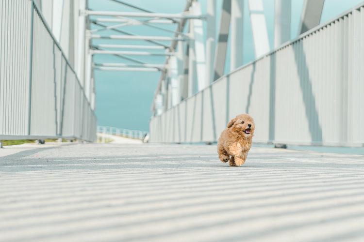 Dog running on bridge