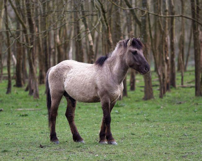 Konik Stallion Checking Out Merries