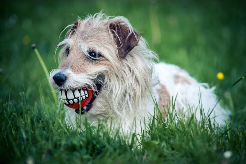 Pets Corner Dog Terrier Smile Wiese  Cheese! Summer Dogs