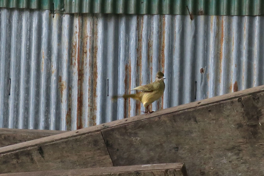 Life Weathered Animal Themes Animal Wildlife Animals In The Wild Bird Blue Colour Corrugated Iron Day Galvanized Iron Nature No People Old One Animal Outdoors Perched Perching Rusty Scrap Urban