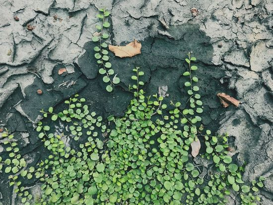 Green Color Leaf Plant Part Day Growth Plant No People Directly Above Ivy Tranquility Backgrounds Beauty In Nature Outdoors Close-up Textured  Full Frame Wood - Material Nature High Angle View Leaves