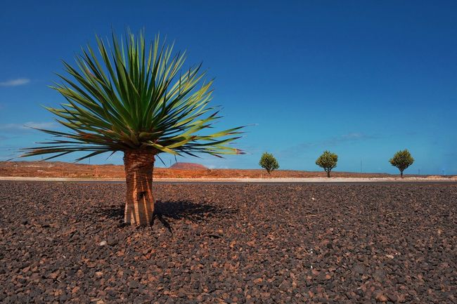 Fuerteventura Sky Tree Plant Land Scenics - Nature Blue Nature Tranquil Scene Day Beauty In Nature Clear Sky No People Landscape Summer Exploratorium