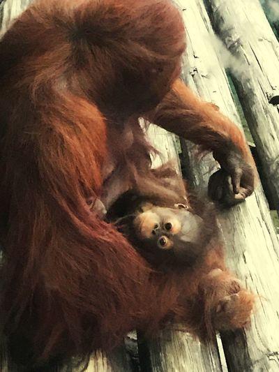 Momma and baby monkey Orangatang Animal Wildlife