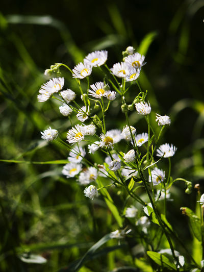 Flower of erigeron annual in a meadow Annual Beauty In Nature Blossom Botany Close-up Daisies Day Erigeron Flower Flower Head Flowering Plant Focus On Foreground Fragility Freshness Growth In Bloom Meadow Nature Petal Plant Season  Selective Focus Springtime Stem White Color