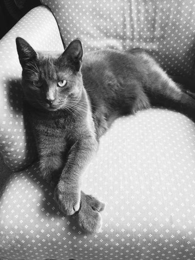 Cats Animals Meow Attitude Grey Blackandwhite Relaxed Relaxed Cat Comfortable Pet Pets Pet Photography  Photography Animal Photography Peace And Quiet Sophisticated Cute Cute Pets Cute Cat Posture Black And White Friday