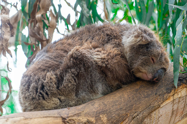 Close up high angle view of australian koala sleeping in tree showing ears nose eyes and claws