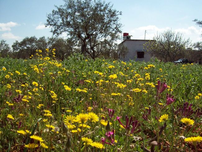 Rural House House Rural Yellow Flower Spring Spring Flowers Springtime Olive Tree Field Olive Tree Flower Yellow Growth Field Nature Rural Scene Tree Beauty In Nature Sky Colour Your Horizn