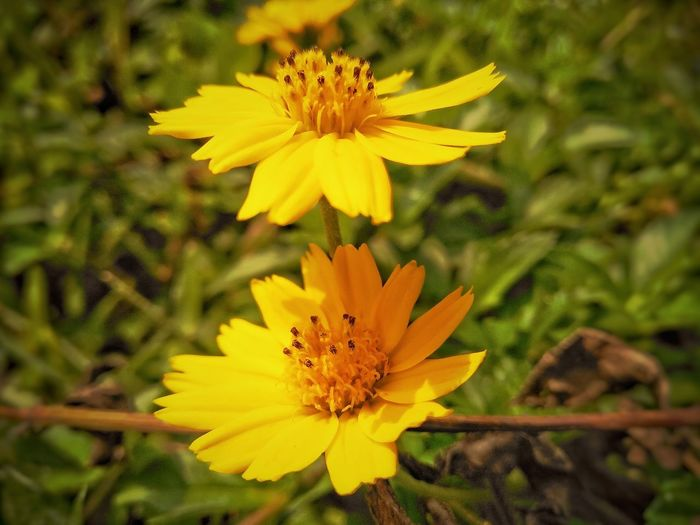 yellow flowers Yellow Flower Yellow Color Yellow Flowers Awesome Flower Awesome Flowers Light Flower Beautiful Flower Zinnia  Petal Black-eyed Susan Pollen Close-up Plant Life Flowering Plant Wildflower Coneflower Botany Eastern Purple Coneflower Uncultivated Marigold Stamen In Bloom Blossom Daisy