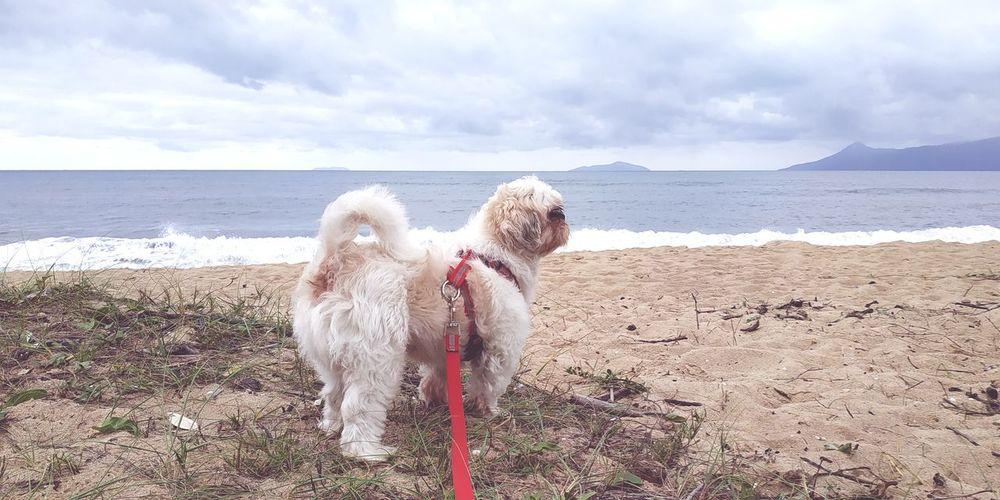 Shihtzu Tobi Xiaomi Redminote5pro Goodmorning :) Shih Tzu Cute Caraguatatuba Mar EyeEm Selects Water Pets Sea Beach Dog Sand Sky Horizon Over Water Cloud - Sky Pet Equipment