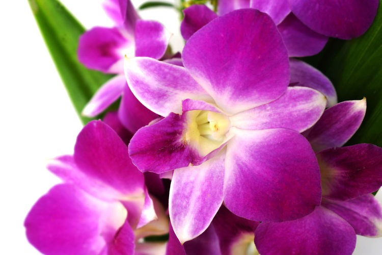 Purple orchid