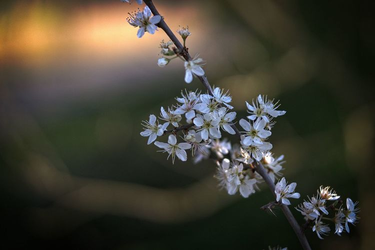 Bokehlicious Flower Flowering Plant Freshness Plant Fragility Beauty In Nature Vulnerability  Close-up Growth Petal Flower Head White Color Focus On Foreground Inflorescence Selective Focus Twig Blossom Springtime Weißdorn (Crataegus) Hawthorn Blossom