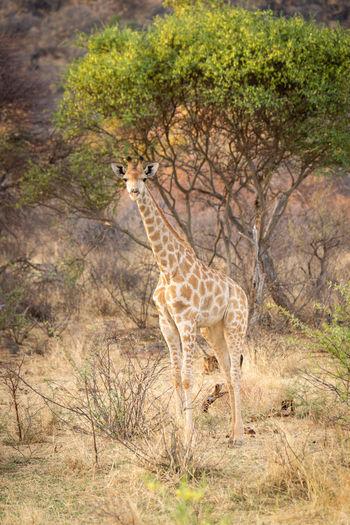 Giraffe standing on a tree