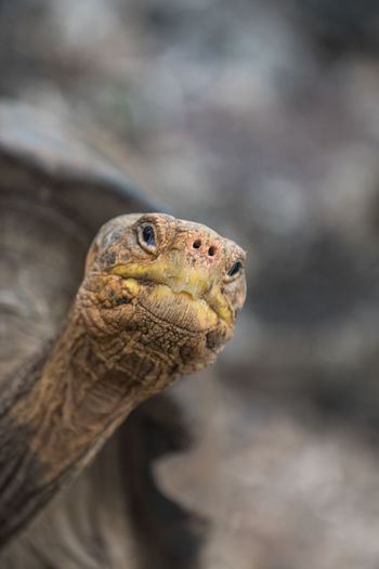 Galapagos Islands Galapagos Wonderful Nature South America Ecuador Detail Old Old Animals Animal Wildlife One Animal Reptile Animals In The Wild Animal Day No People Portrait Outdoors Nature Close-up Tortoise Shell Animal Themes Tortoise