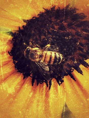 Grunge_effect Sunflower Head Bee Honey Bee Pollination Sunflowers Eyeem Insects Insect Collection Insect Paparazzi Insect Photography EyeEm Flower EyeEm Nature Lover Eye4photography  Eyeemphotography Flower Collection Wildflower Backgrounds IPhone Iphoneonly IPhoneography Sunflower Wildlife Wildlife & Nature Insect Wild