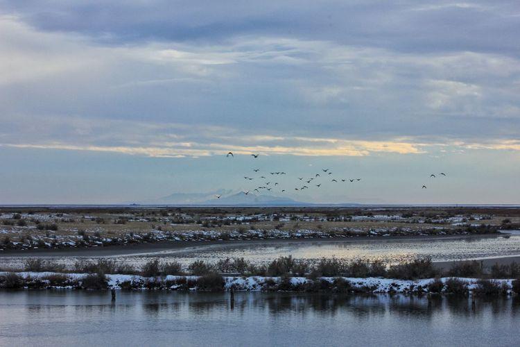 Ducks flying at great salt lake