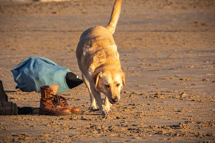Dog walking on the beach