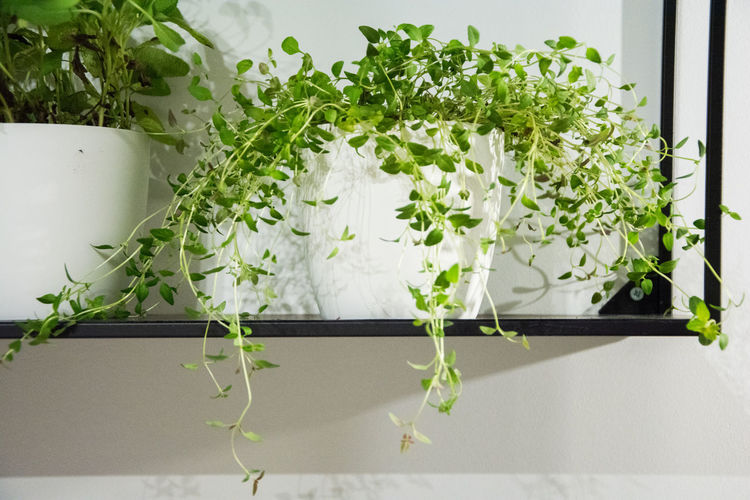 Plant Green Color Growth Nature Leaf Plant Part Potted Plant Freshness No People Indoors  White Color Beauty In Nature Food Flower Flowering Plant Day Food And Drink Close-up Wellbeing Herb Flower Pot Tray