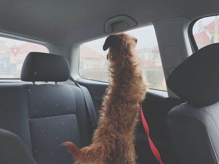 Patience Owner Wirehaired Dachshund Wait Waiting Dog Vehicle Interior Transportation Mode Of Transportation Car Interior Real People Car Travel Rear View Indoors  Day Transportation Travel Domestic Indoors  Domestic Animals Rear View Pets