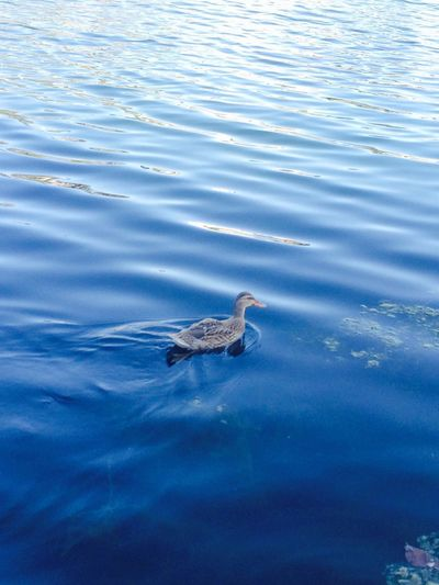 Duck EyeEm Nature Lover Nature_collection Nature Echo Park  EyeEm Best Shots