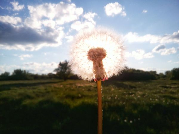 Flower Nature Sky Growth Beauty In Nature Fragility Freshness Field Outdoors Uncultivated Sunset Springtime Flower Head Cloud - Sky Summer Rural Scene Plant No People Backgrounds Close-up