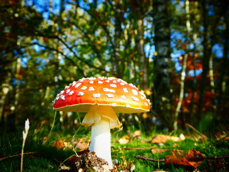 Beautiful one in autumn Mushroom Autumn Beauty In Nature Forest Close-up Freshness Red White