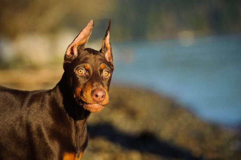 Doberman Pinscher dog Dobermann Red Animal Animal Themes Close-up Cropped Ears Day Doberman  Doberman Pinscher Dog Domestic Animals Focus On Foreground Mammal Nature No People One Animal Outdoors Pets Photography Pinscher Portrait Puppy Red And Tan Tan