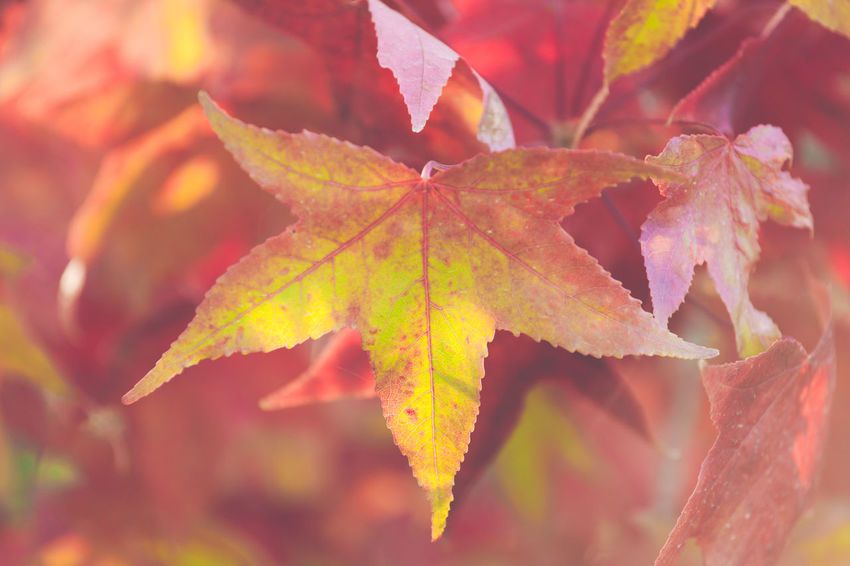 Plant Part Leaf Autumn Beauty In Nature Close-up Change Plant No People Nature Maple Leaf Leaves Growth Day Vulnerability  Focus On Foreground Fragility Selective Focus Full Frame Backgrounds Outdoors Natural Condition