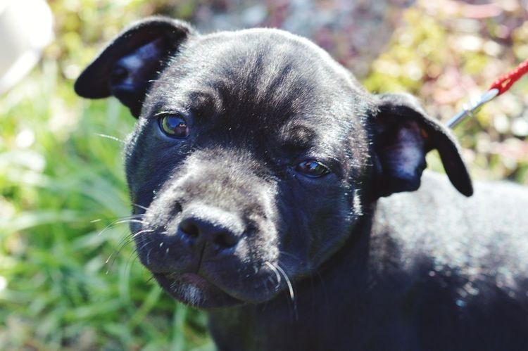 EyeEm Selects Puppy, Staffy, Outdoors, Animals, Mansbestfriend