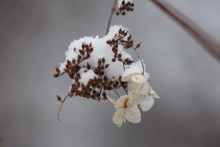Snowfall at the end of the winter. Wilted hydrangea petals remaining of last early summer...... EyeEm Flower EyeEm Nature Lover Talking Pictures EyeEm Best Shots - Nature Nature EyeEm Best Shots Flowers Snow ISOPIX Dedicate To @intreccio