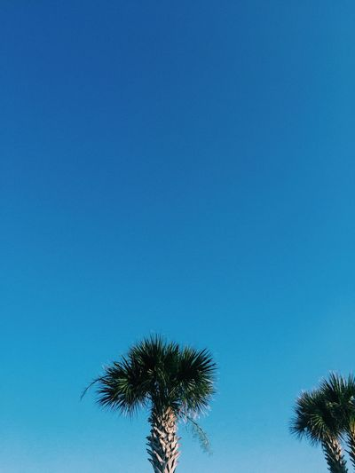 Tree of life Tree Sky Blue Plant Low Angle View Palm Tree No People Nature Tropical Climate Copy Space Clear Sky Growth Beauty In Nature Tranquility Day Scenics - Nature Treetop Outdoors Silhouette Branch