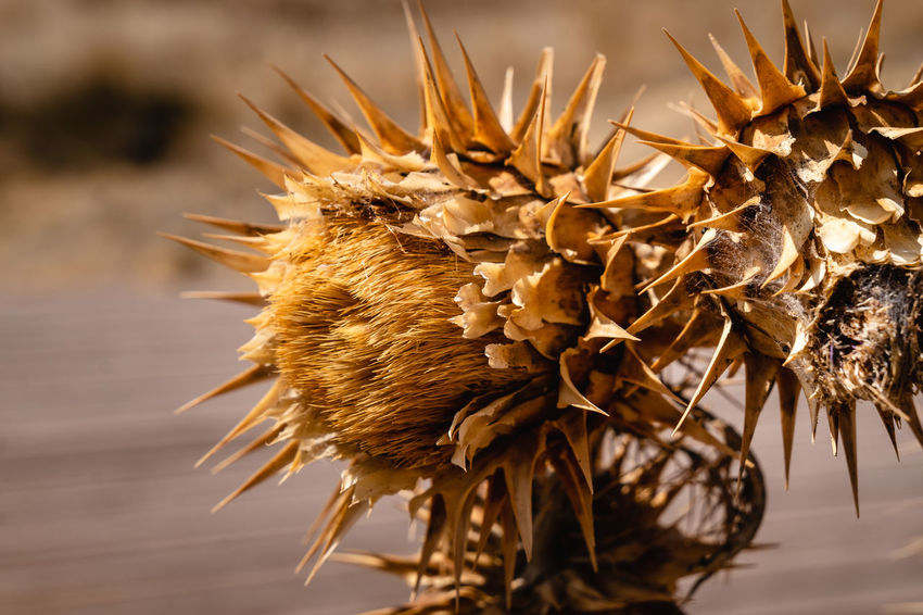 Dry Close-up Focus On Foreground Flower No People Plant Nature Vulnerability  Flowering Plant Beauty In Nature Dried Plant Wilted Plant Fragility Growth Day Dead Plant Freshness Spiked Outdoors Selective Focus Flower Head Dried