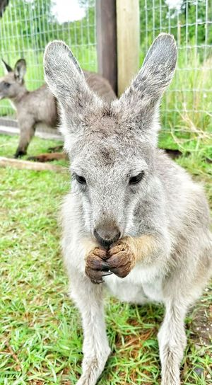 Kangaroo Kangaroo Baby Cute Small Animal @ Kangaroo Creek Farm Kelowna,BC