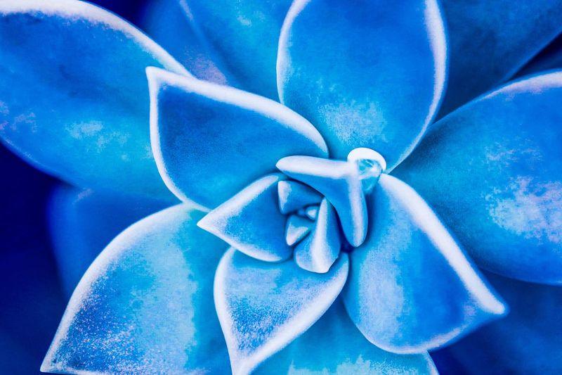 Planta Blue No