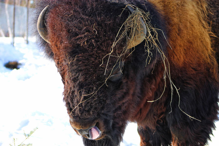 Saguenay, Québec, Canada Animal Head  Animal Themes Bison, Buffalo, Blackbirds, Wyoming, Wild, Animal, Horns, Fur, Raw, Close-up Day Domestic Animals Focus On Foreground Livestock Mammal Nature No People One Animal Outdoors