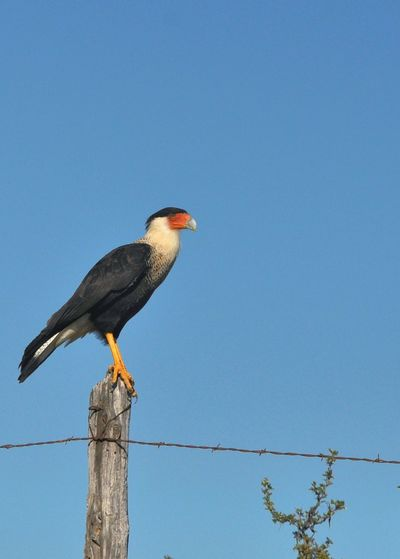 The Crested Caracara ( Mexican Eagle) Perching One Animal Animals In The Wild Animal Themes Bird Wildlife Clear Sky Blue Zoology Side View Copy Space Electricity Pylon Beak Pole Full Length Cable Day Power Line  Nature F/2.8 This Week On EyeEm. Nikon_photography Nikonphotographers Close-up