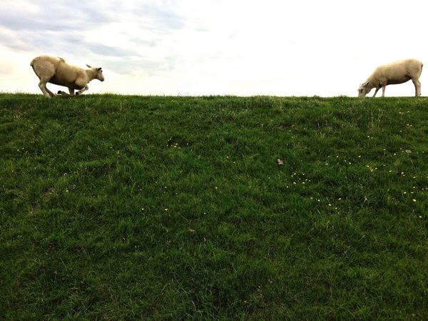 Protecting Where We Play Lüttmoorsiel Nature Sheep Schafe Nature On Your Doorstep Nature_collection EyeEm Nature Lover Relaxing Deich