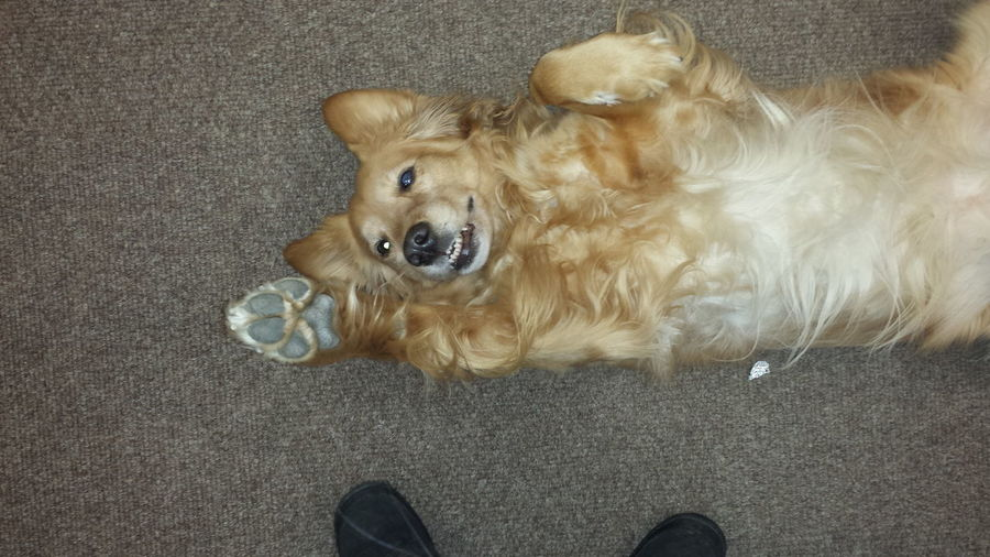 this awsome Dog Golden Retriever Resuce was napping at ups store Kennybunk Maine Smile❤ Hi Paws
