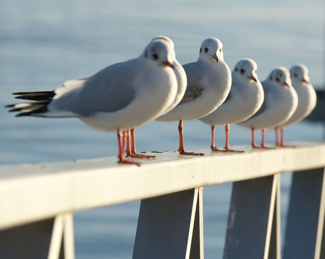 Close-Up Of Seagulls Perching On Railing Against Sea