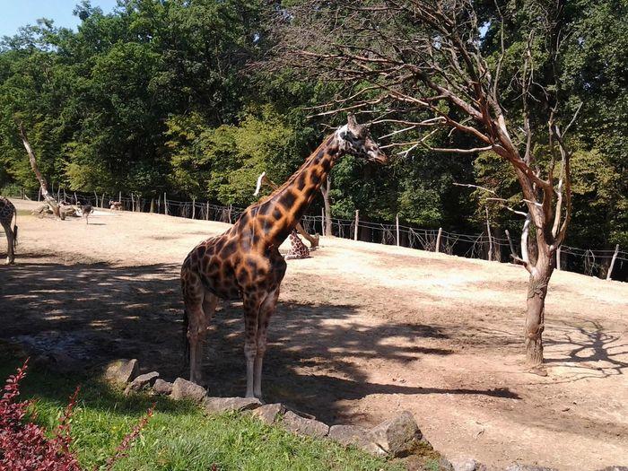 Zebra Lesní (na čekané) Animals Delicious Food Dluhykrk Foodporn Giraffe Jasomsadosral Lodvpristavu Longneck Nohomo Pokémon Zvire žirafa